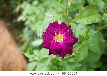 Violet rose bush in the garden stock photo