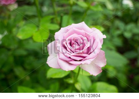 Violet rose bush in the garden stock photo