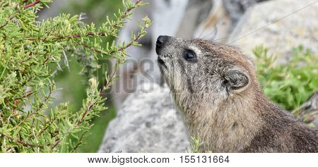 Close up of Cape hyrax in Hermanus