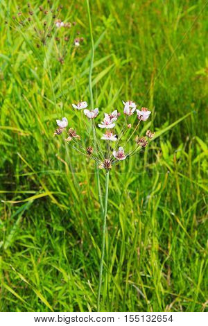 Flowering Rush (Butomus umbellatus) on the meadow