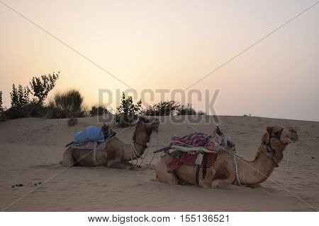 Two camels sitting on the dunes of Thar desert in Jaisalmer, Rajasthan, India