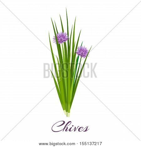 Blossoming chives color vector illustration. Allium schoenoprasum or garlic chives. Isolated on a white background. French cuisine. For web, menu, logo, textile