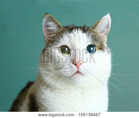 siberian cat with different eye color blue and green close up muzzle photo
