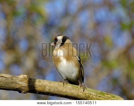 Adult goldfinch perched on an old branch