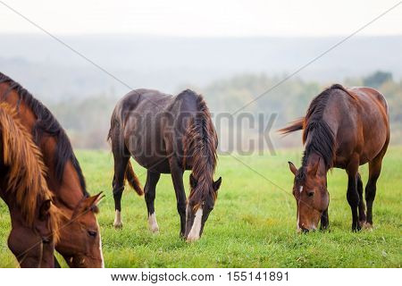Horses grazing in a meadow in autumn near a forest