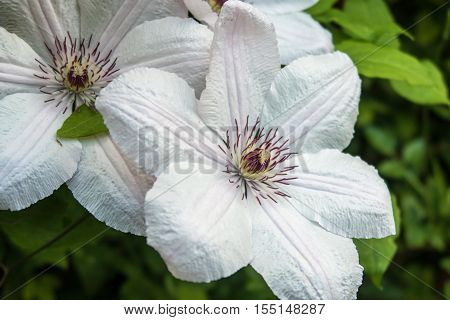 A close up view of the beautiful Clematis Pink Fantasy flower