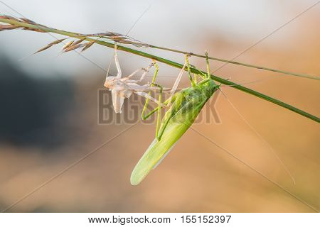 Great Green Bush-cricket Shed Skin (ecdysis)