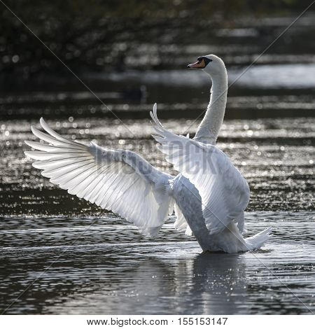Graceful Beautiful Mute Swan Cygnus Olor Stretches It's Wings On Lake With Sun Behind