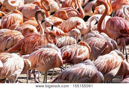 Colony of Chilean flamingo. Animal scene. Vibrant colors. Wading birds. Beauty in nature.
