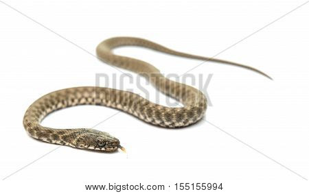 Snake young serpentine isolated on white background