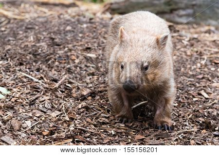Close-up On An Wombat, Australian Native Animal