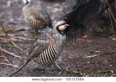 Chukar Partridge (Alectoris chukar) walking over forest ground