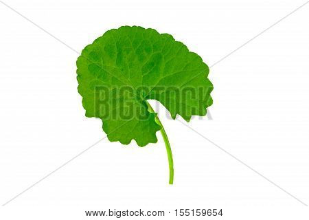 Green Asiatic Pennywort (Centella asiatica , Hydrocotyle umbellata L or Water pennywort ) isolated on white background.Saved with clipping path.