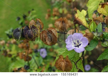 Single in bloom flower of the shoo-fly plant (Nicandra physalodes) with older flowers forming chinese style lanterns. Background of leaves of the same plant.