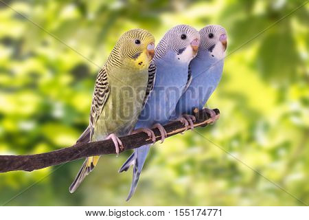 Two multi colored budgie are on the green background