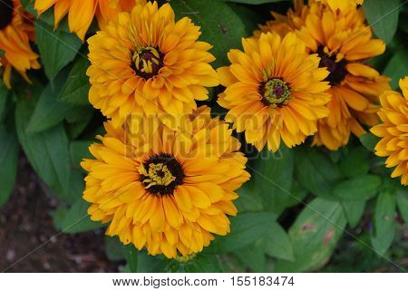Garden wtih blooming rudbeckia flower blossoms flowering