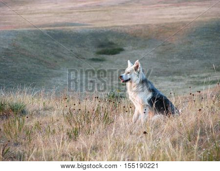 A big happy dog sits in the prairie as daylight dims.