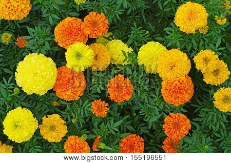 Top view of orange and yellow colored marigold flowers