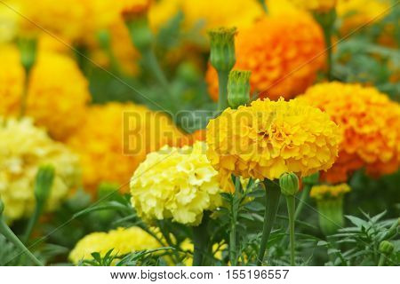 Orange and yellow colored marigold flowers and buds in the garden