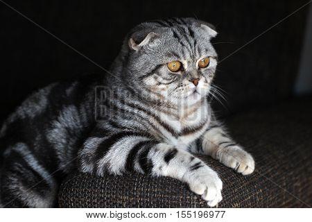 Portrait of a beautiful purebred housecat / British Shorthair kitten