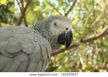 Gray parrot Jaco sitting on a tree branch in the wild nature