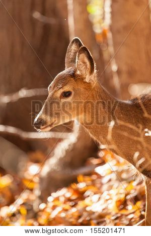 Young Whitetailed Deer Doe