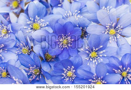 spring Hepatica nobilis - Background from blossoms