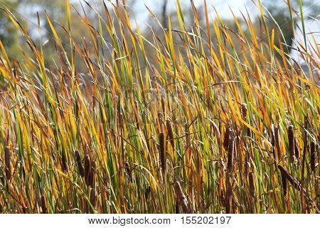 During the Autumn/winter months, cattail foliage dies off. Leaves and stems turn brown and dry up, seed heads burst open
