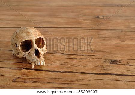 Vervet monkey skull isolated on a wooden background