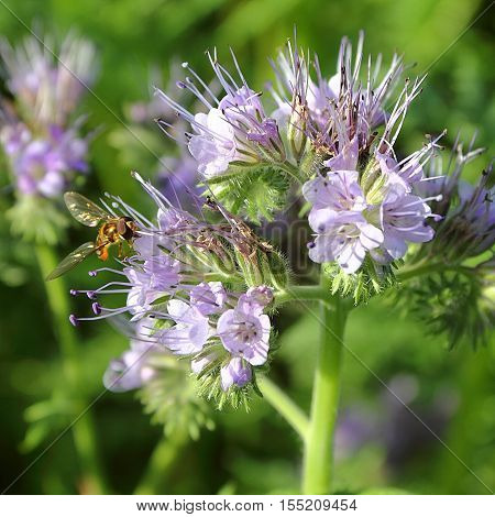 Phacelia tanacetifolia with a bee - selected focus; narrow depth of field