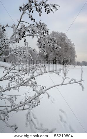 Branches of European black alder tree covered with white hoarfrost