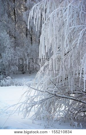 Branches of weeping willow tree covered with white hoarfrost