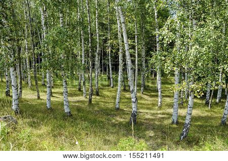 Birch forest of  advance summer in the mountain Vitosha, Bulgaria