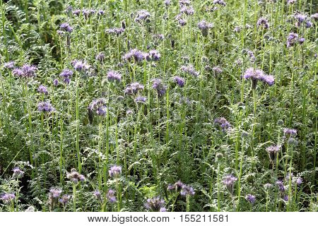 Field with blooming Phacelia tanacetifolia in late autum - Selected focus narrow depth of field