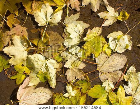 Top view of a wet autumn leaves in a puddle of water on the pavement close-up