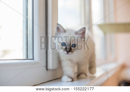 Sacred Birman kittens in the interior home furnishings shallow depth of field thoroughbred kittens