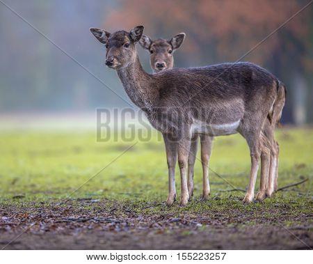 Two Dark Colored Female Fallow Deer