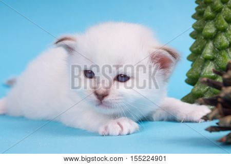Sacred Birman kitten in the studio purebred kittens on isolated background with Christmas tree and cones