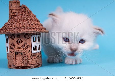 Sacred Birman kitten in the studio purebred kittens on isolated background