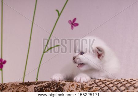 Sacred Birman kitten in the studio purebred kittens on isolated beige background