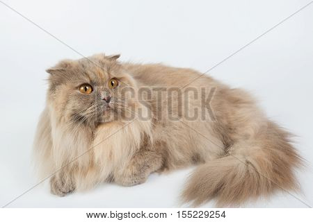 British Longhair on a white background in the studio isolated orange eyes gray cat