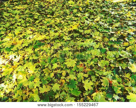 bright yellow, green, brown, colorful carpet of different leaves in autumn