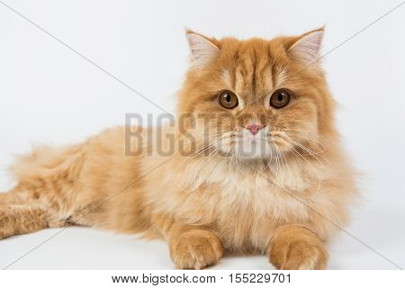 a large purebred red cat on a white background studio photo isolated cat