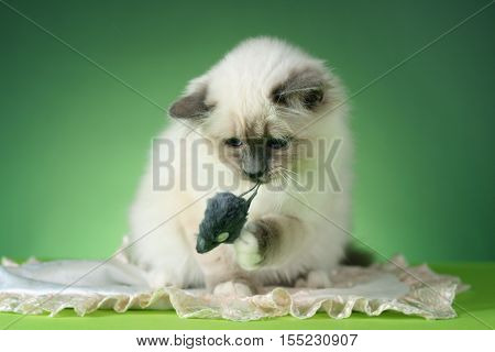 handsome cat in studio close-up luxury cat studio photo green background isolated