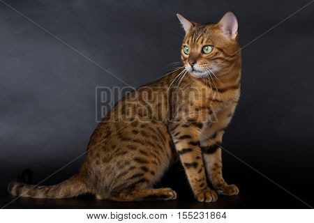 Bengal cat on a white background in the studio isolated bright spotted cat