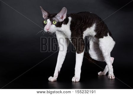 Cornish Rex cat is black and white black background isolated in the studio.