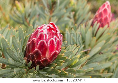 closeup of red protea flower and bud