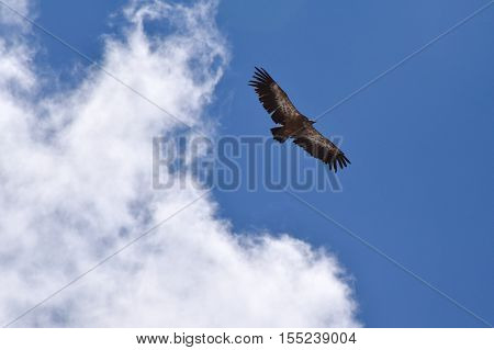 Vulture soaring in the clouds above the Pyrenees