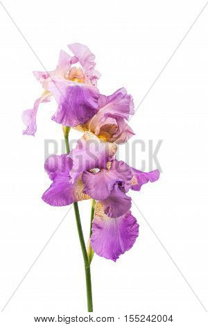 violet iris flower on a white background