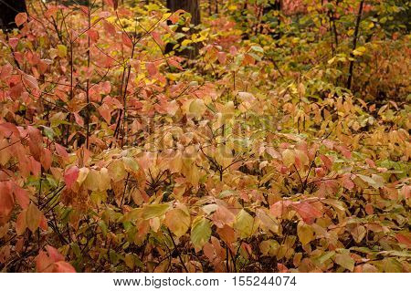 Closeup of a field of dogwoods in fall colors